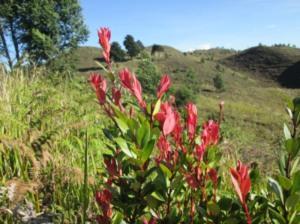 Tanaman yang pucuk tangkai atasnya merah di Bukit Teletubies